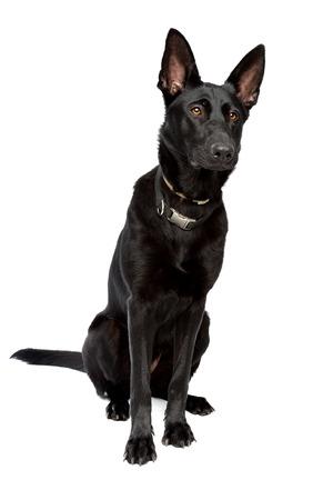 short hair dog: black short haired shepherd in front of a white background