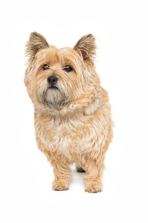 domestication: Cairn Terrier in front of a white background Stock Photo