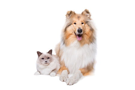 longhaired: Scotch Collie and a Cat in front of a white background