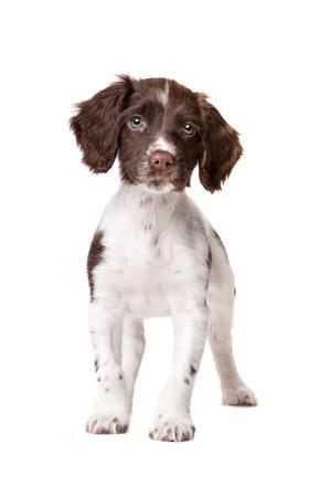 Holenderski partrige pies, Drentse Patrijs hond, przed białym tle