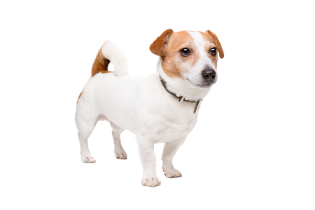 Jack Russel Terrier standing in front of a white background Stock Photo