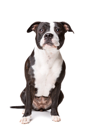 Staffordshire-bulterrier in front of a white background Stock Photo