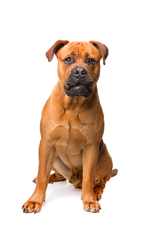 boerboel dog: mixed breed dog , Boerboel, bull mastiff, in front of a white background