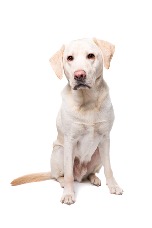 purebreed: young Labrador dog in front of a white background