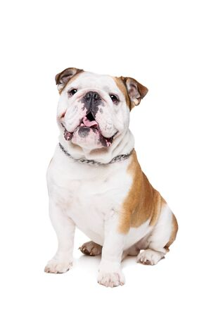 English Bulldog in front of a white background Stockfoto