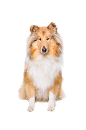 rough background: rough collie sitting in front of a white background Stock Photo