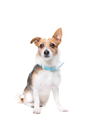 pedigreed: mixed breed dog in front of a white background