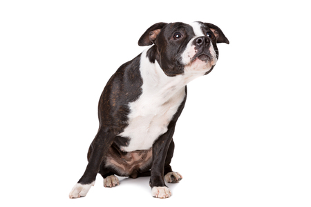 Staffordshire-bulterri?r in front of a white background Stock Photo