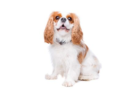 pedigreed: cavalier king charles spaniel in front of a white background