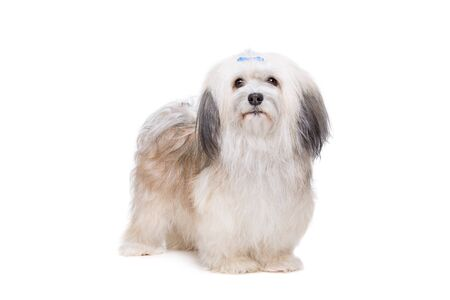 purebreed: Shih tzu dog in front of a white background