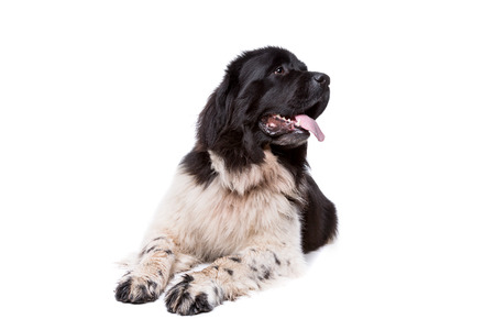 purebreed: Black and White Newfoundland dog or Landseer dog in front of a white background Stock Photo
