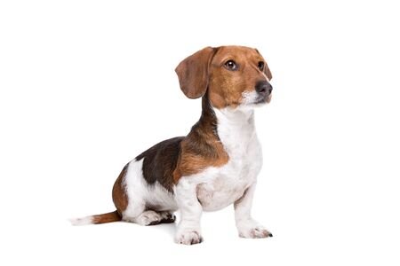 piebald: Dachshund piebald dog in front of a white background Stock Photo