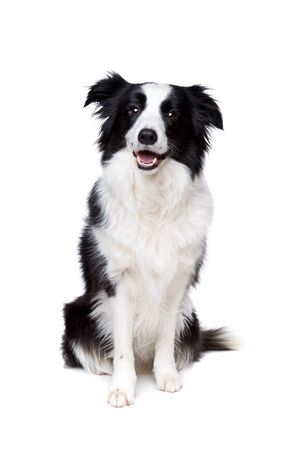 vertebrate animal: black and white border collie dog in front of a white background