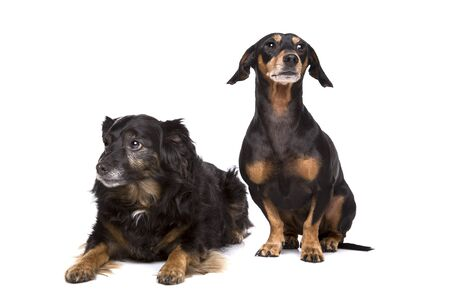 two mixed breed dogs in front of a white background Stock Photo