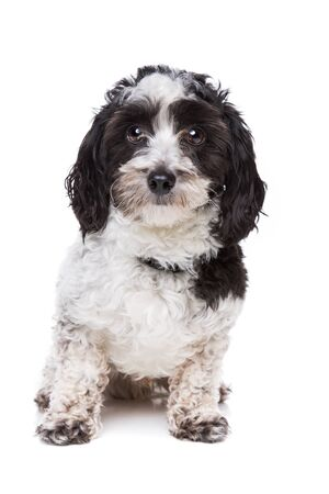 studio shots: mixed breed dog in front of a white background