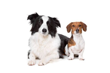 piebald: border collie and a dachshund piebald in front of a white background