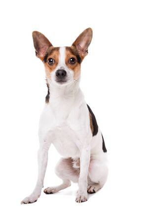 studio shots: boerenfox dog in front of a white background Stock Photo
