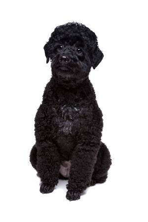sit on studio: black poodle sitting in front of a white background Stock Photo