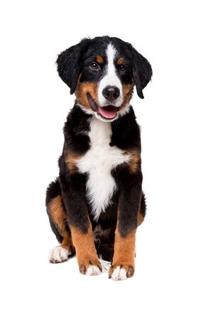 bernese mountain dog puppy in front of a white background Stock Photo