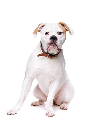 sit on studio: American bulldog sitting in front of a white background
