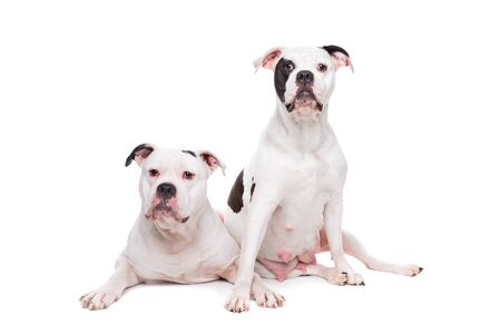 sit on studio: two American bulldogs in front of a white background Stock Photo