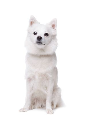 white pomeranian dog sitting in front of a white background