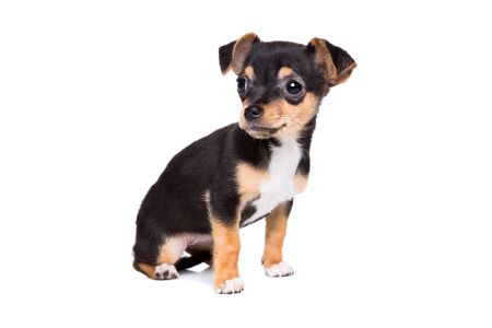 short haired chihuahua puppy in front of a white background Stock Photo