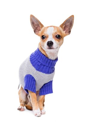 studio shots: short haired chihuahua sitting in front of a white background wearing a purple and grey sweater