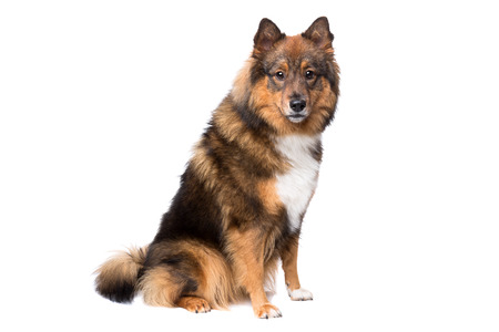 studio shots: mixed breed dog,Eurasier, in front of a white background Stock Photo