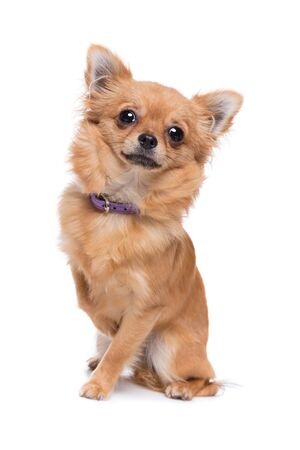 Brown long haired Chihuahua sitting in front of a white background