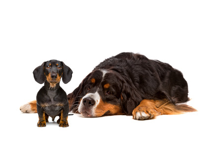 Dachshund and Bernese dog in front of a white background Фото со стока