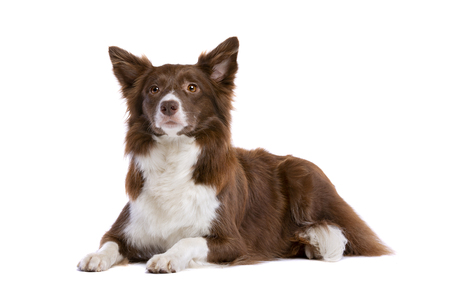 border collie dog in front of a white background 免版税图像