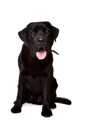 black labrador in front of a white background 免版税图像
