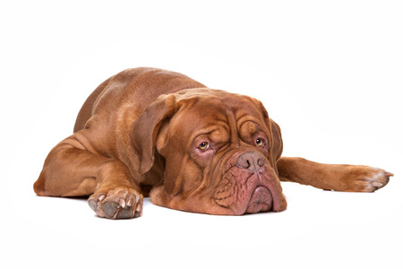 French Mastiff dog lying in front of a white background Stockfoto