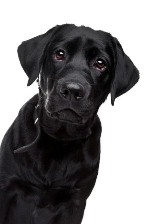 labrador noir devant un fond blanc