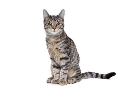 European short haired cat in front of a white background Stock fotó