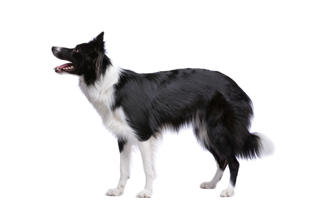 Border collie dog standing in front of a white background 免版税图像
