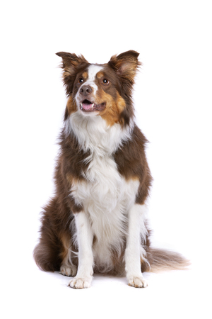 Tri colour border collie sitting in front of a white background Stock Photo