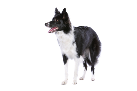Border collie dog standing in front of a white background Stok Fotoğraf