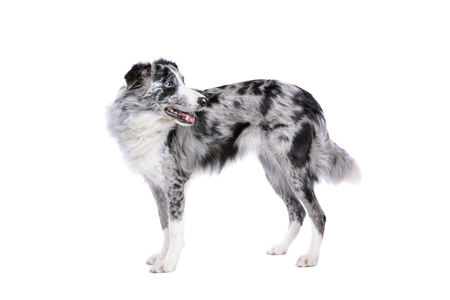 Border collie standing in front of a white background Stock Photo
