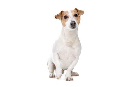 junger Jack Russel Terrier vor weißem Hintergrund