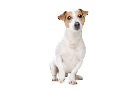 young jack russel terrier in front of a white background Standard-Bild