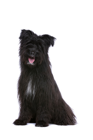 black Pyrenean Shepherd in front of a white background Banco de Imagens