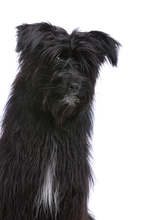 black Pyrenean Shepherd in front of a white background Imagens