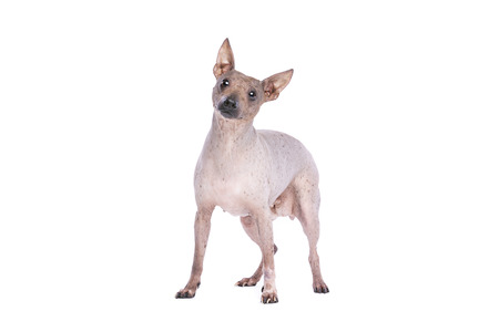 American Hairless Terrier in front of a white background Imagens - 120411103