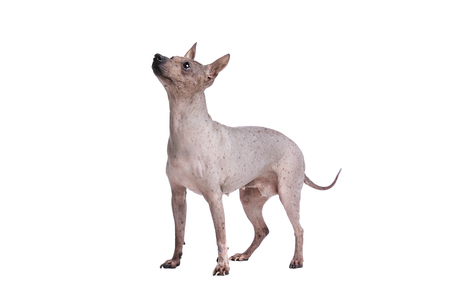 American Hairless Terrier in front of a white background Imagens
