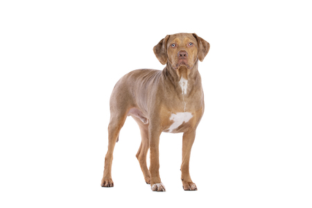red merle Louisiana Catahoula Leopard dog in front of a white background Imagens - 120411110