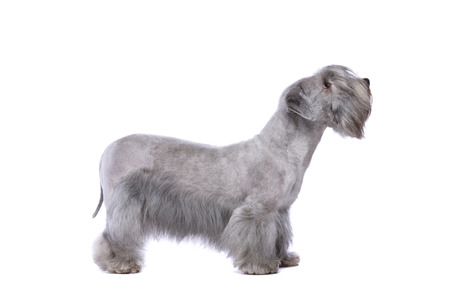 Cesky Terrier or Bohemian Terrier in front of a white background Imagens - 120411136
