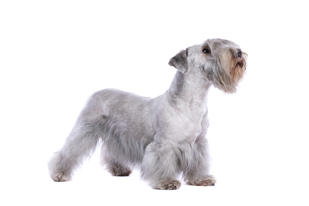 Cesky Terrier or Bohemian Terrier in front of a white background Imagens