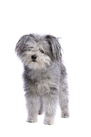 Hungarian Pumi or Hungarian herding terrier in front of a white background
